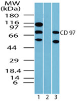 Western blot of human Leukocyte Antigen CD97 in K562 cell lysate in the 1) absence and 2) presence of immunizing peptide using antibody at 2 ug/ml.