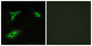 Immunofluorescence analysis of HeLa cells, using GPR116 Antibody. The picture on the right is blocked with the synthesized peptide.