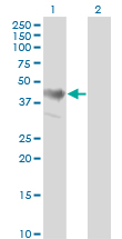ADRM1 Antibody - Western blot of ADRM1 expression in transfected 293T cell line by ADRM1 monoclonal antibody (M02), clone 3D11.