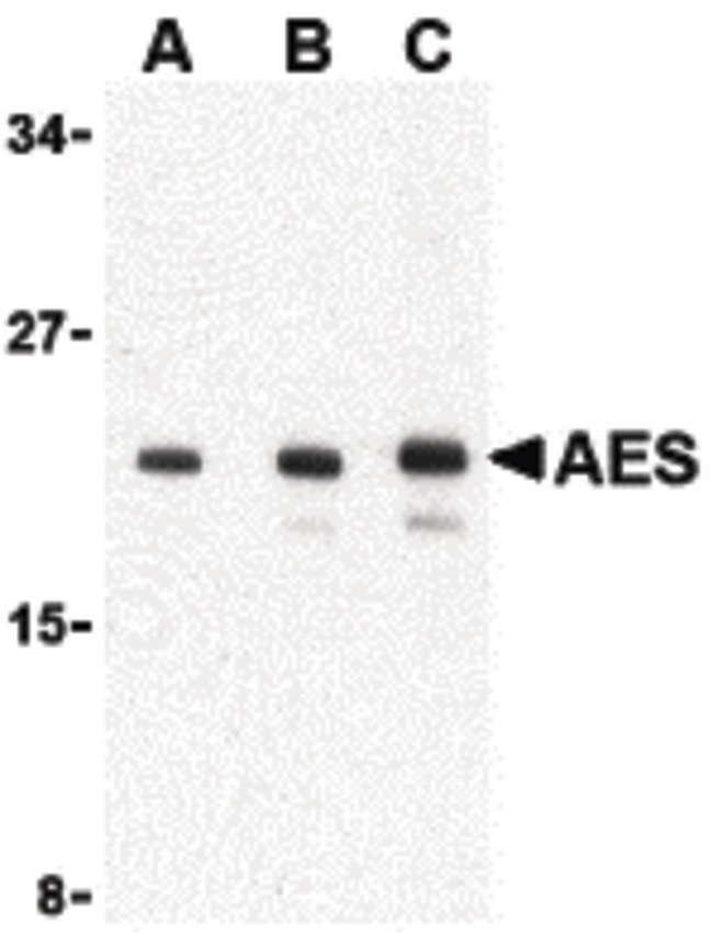 AES / Groucho Antibody - Western blot of AES in 293 cell lysate with AES antibody at (A) 1, (B) 2 and (C) 4 ug/ml.