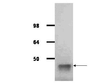 Anti-Aldolase Antibody - Western Blot. IgG purified antibody to rabbit muscle aldolase was used at a 1:1000 dilution to detect human aldolase by Western blot. A whole cell lysate prepared from human derived A293 cells was loaded on a 4-12% Tris glycine gradient gel for SDS-PAGE. The gel was transferred to nitro-cellulose using standard techniques. Antibody reaction with the membrane occurred overnight at 4° C in TTBS supplemented with 2% non-fat dry milk. Color was allowed to develop using SuperSignal West Pico Chemiluminescent Substrate (PIERCE). Other detection methods will yield similar results. This antibody clearly detects a band at ~41 kD consistent with human aldolase.
