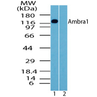 Western blot of Ambra1 in human brain lysate in the 1) absence and 2) presence of immunizing peptide using AMBRA1 Antibody at 1 ug/ml.