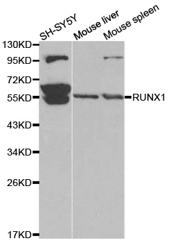 AML1 / RUNX1 Antibody - Western blot analysis of extracts of various cell lines, using RUNX1 antibody.