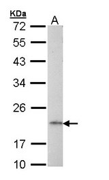 AP1S2 Antibody - Sample (30 ug of whole cell lysate). A: Raji. 12% SDS PAGE. AP1S2 antibody diluted at 1:1000.