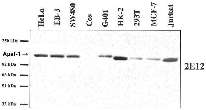 APAF1 / APAF-1 Antibody - Western blot analysis using anti-Apaf-1 (human), MAb (2E12) on several human cell lines and one monkey cell line (COS). This image was taken for the unmodified form of this product. Other forms have not been tested.