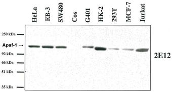 Western blot analysis using anti-Apaf-1 (human), MAb (2E12) on several human cell lines and one monkey cell line (COS). This image was taken for the unmodified form of this product. Other forms have not been tested.