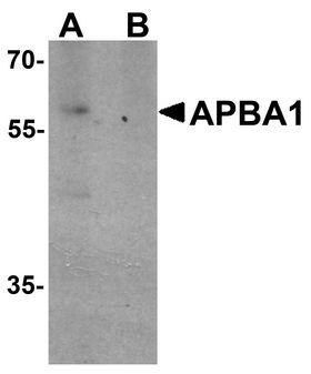 APBA1 / MINT1 Antibody - Western blot analysis of APBA1 in rat brain tissue lysate with APBA1 antibody at 0.5 ug/ml in (A) the absence and (B) the presence of blocking peptide.