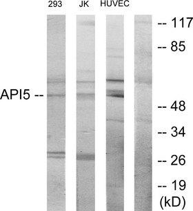 API5 Antibody - Western blot analysis of lysates from 293, Jurkat, and HUVEC cells, using API-5 Antibody. The lane on the right is blocked with the synthesized peptide.