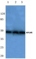Western blot of analysis of APLNR pAb at a 1:500 dilution. Lane 1: A549 cell lysate. Lane 2: Mouse lung tissue lysate. Lane 3: Rat liver tissue lysate.