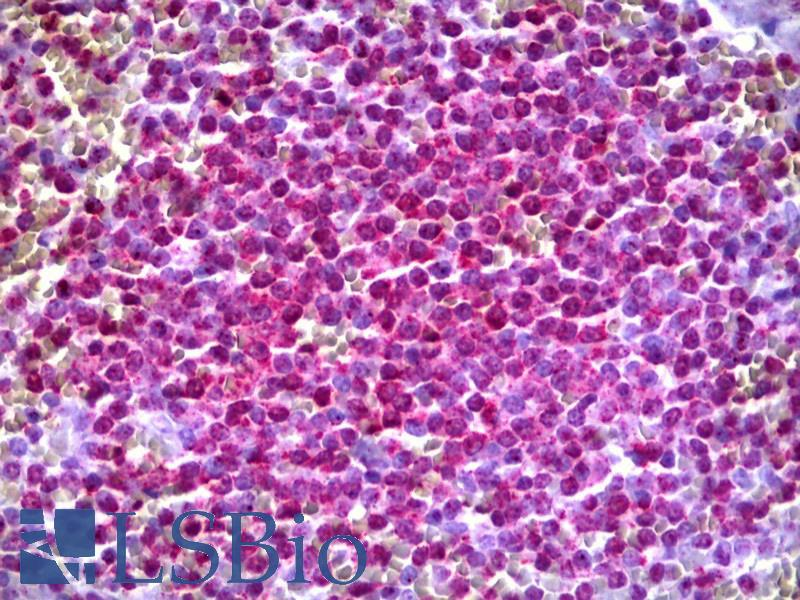 Anti-ARHGEF11 antibody IHC of human spleen. Immunohistochemistry of formalin-fixed, paraffin-embedded tissue after heat-induced antigen retrieval. Antibody concentration 10 ug/ml.