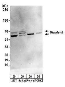 ARHGEF28 Antibody - Detection of human and mouse Staufen1 by western blot. Samples: Whole cell lysate (50 µg) from HEK293T, Jurkat, mouse Renca, and mouse TCMK-1 cells. Antibodies: Affinity purified rabbit anti-Staufen1 antibody used for WB at 0.4 µg/ml. Detection: Chemiluminescence with an exposure time of 30 seconds.