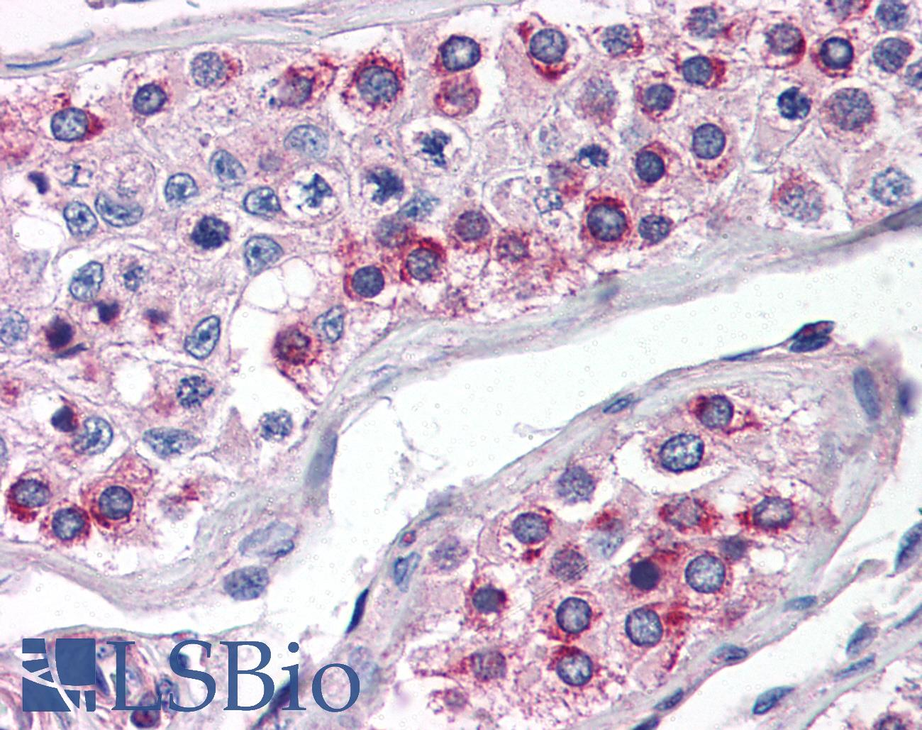 ATG16L1 / ATG16L Antibody - Anti-ATG16L1 antibody IHC of human testis. Immunohistochemistry of formalin-fixed, paraffin-embedded tissue after heat-induced antigen retrieval. Antibody concentration 5 ug/ml.