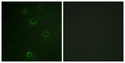Immunofluorescence analysis of COS7 cells, using ATPase Antibody. The picture on the right is blocked with the synthesized peptide.