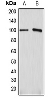 Western blot analysis of ATP1A1 expression in HEK293T (A); HeLa (B) whole cell lysates.
