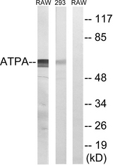 Western blot analysis of lysates from 293 and RAW264.7 cells, using ATP5A1 Antibody. The lane on the right is blocked with the synthesized peptide.