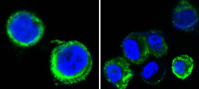 AXL Antibody - Confocal immunofluorescence of methanol-fixed HEK293 cells transfected with AXL-hIgGFc using AXL mouse monoclonal antibody(green), showing cytoplasmic and membrane localization. Blue: DRAQ5 fluorescent DNA dye.