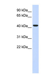BACE1 antibody Western blot of Fetal Liver lysate. This image was taken for the unconjugated form of this product. Other forms have not been tested.