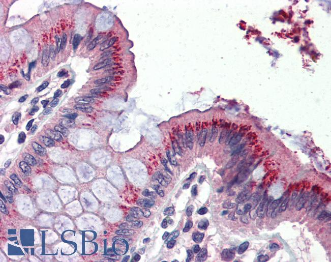 Anti-BMP4 antibody IHC of human colon. Immunohistochemistry of formalin-fixed, paraffin-embedded tissue after heat-induced antigen retrieval. Antibody dilution 1:100.