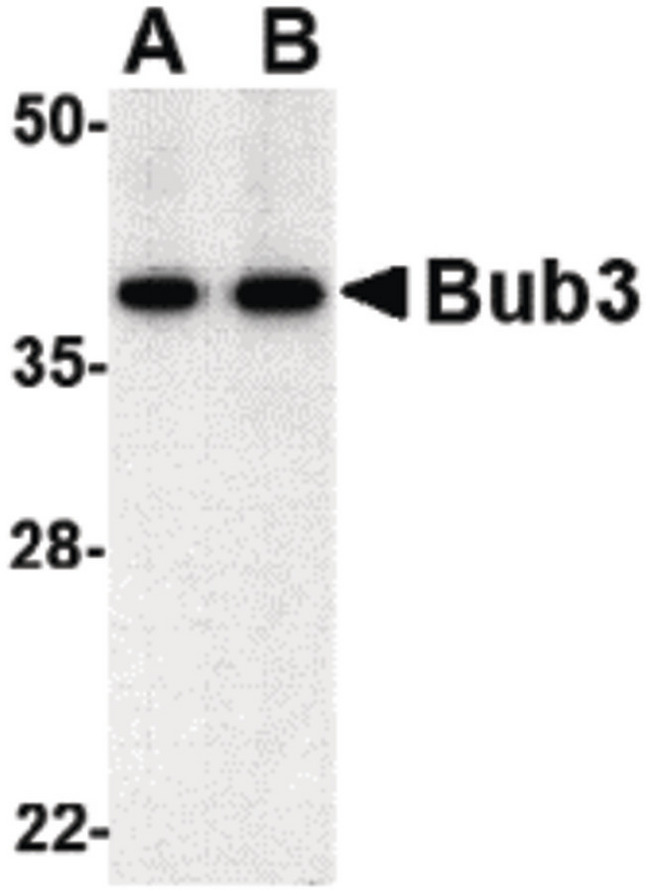 BUB3 Antibody - Western blot of bub3 in Jurkat cell lysate with bub3 antibody at (A) 0.5 and (B) 1 ug/ml.