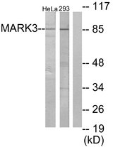 Western blot analysis of lysates from HeLa and 293 cells, using MARK3 Antibody. The lane on the right is blocked with the synthesized peptide.