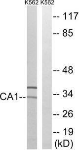 Western blot analysis of lysates from K562 cells, using CA1 Antibody. The lane on the right is blocked with the synthesized peptide.