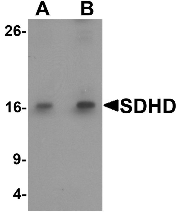 CBT1 / SDHD Antibody - Western Blot analysis of SDHD in EL4 cell lysate with LS-B8827 at (A) 1 and (B) 2 µg/ml.