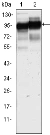 CD44 Antibody - Western blot using CD44 mouse monoclonal antibody against HeLa (1) and HUVE-12(2) cell lysate.