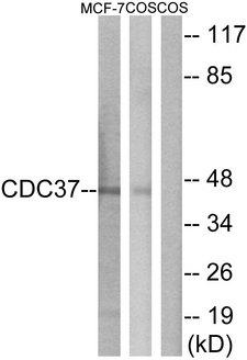 CDC37 Antibody - Western blot analysis of lysates from MCF-7 and COS7 cells, using CDC37 Antibody. The lane on the right is blocked with the synthesized peptide.