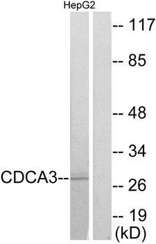 CDCA3 Antibody - Western blot analysis of lysates from HepG2 cells, using CDCA3 Antibody. The lane on the right is blocked with the synthesized peptide.