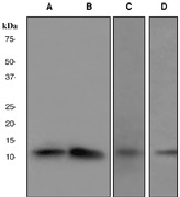 Western blot analysis on (A) 293T, (B) HeLa, (C) HUVEC, and (D) LNCaP cell lysates using anti-CDK2AP1 antibody. Note: Dilute primary antibody in 1% BSA.