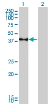 CREB1 / CREB Antibody - Western blot of CREB1 expression in transfected 293T cell line. Lane 1: CREB1 transfected lysate (37 KDa). Lane 2: Non-transfected lysate.