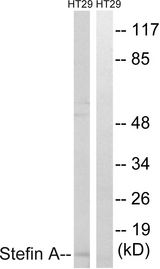 Western blot analysis of lysates from HT29 cells, using Stefin A Antibody. The lane on the right is blocked with the synthesized peptide.