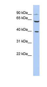 CXCR2 / IL8RB antibody Western blot of PANC1 cell lysate. This image was taken for the unconjugated form of this product. Other forms have not been tested.
