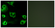 Immunofluorescence analysis of COS7 cells, using CYSLTR1 Antibody. The picture on the right is blocked with the synthesized peptide.