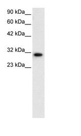 D-Binding Protein / DBP Antibody - HepG2 Cell Lysate.  This image was taken for the unconjugated form of this product. Other forms have not been tested.
