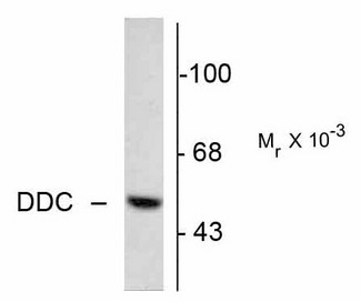 Western blot of 5 µg of bovine adrenal medulla lysate showing specific immunolabeling of the ~55k DOPA decarboxylase protein.