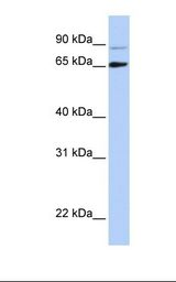 DGCR8 Antibody - Hela cell lysate. Antibody concentration: 1.0 ug/ml. Gel concentration: 12%.  This image was taken for the unconjugated form of this product. Other forms have not been tested.