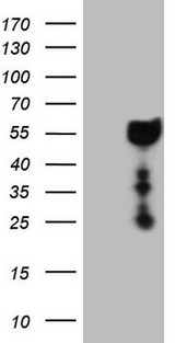 DMRT1 Antibody - HEK293T cells were transfected with the pCMV6-ENTRY control (Left lane) or pCMV6-ENTRY DMRT1 (Right lane) cDNA for 48 hrs and lysed. Equivalent amounts of cell lysates (5 ug per lane) were separated by SDS-PAGE and immunoblotted with anti-DMRT1 (1:2000).