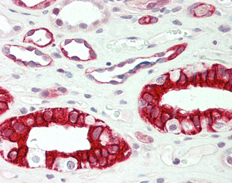 Human Kidney: Formalin-Fixed, Paraffin-Embedded (FFPE).  This image was taken for the unconjugated form of this product. Other forms have not been tested.