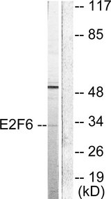 E2F6 Antibody - Western blot analysis of lysates from HepG2 cells, using E2F6 Antibody. The lane on the right is blocked with the synthesized peptide.