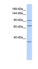 EEF2 antibody Western blot of HeLa lysate. This image was taken for the unconjugated form of this product. Other forms have not been tested.