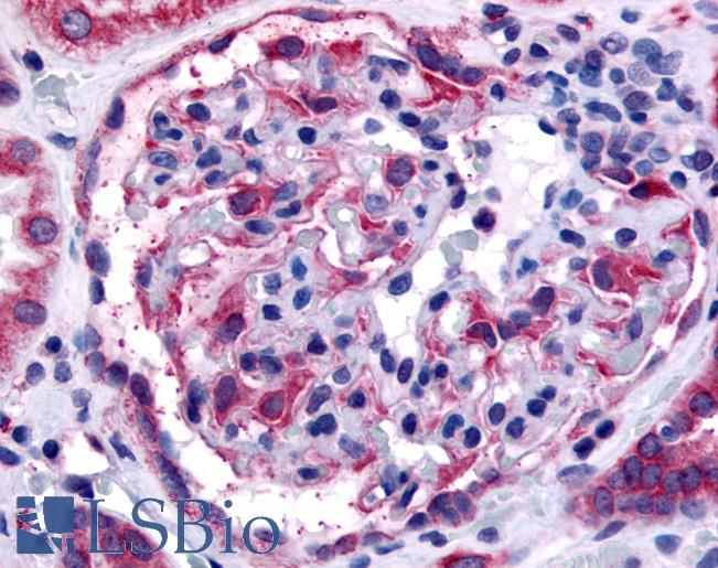 Anti-EPHA4 antibody IHC of human glomerulus. Immunohistochemistry of formalin-fixed, paraffin-embedded tissue after heat-induced antigen retrieval.