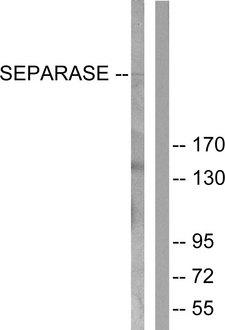 ESPL1 / Separase Antibody - Western blot analysis of lysates from 293 cells, treated with EGF 200ng/ml 30', using SEPARASE Antibody. The lane on the right is blocked with the synthesized peptide.