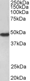 F2R / Thrombin Receptor / PAR1 Antibody - F2R / Thrombin Receptor / PAR1 antibody (0.3µg/ml) staining of HeLa lysate (35µg protein in RIPA buffer). Primary incubation was 1 hour. Detected by chemiluminescence.