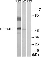 Western blot analysis of lysates from K562 and NIH/3T3 cells, using EFEMP2 Antibody. The lane on the right is blocked with the synthesized peptide.