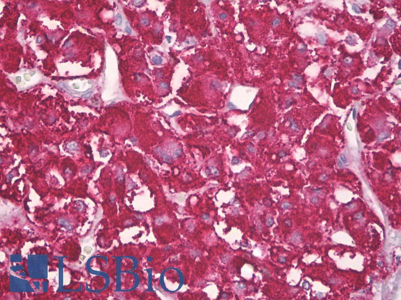 Anti-APBB2 antibody IHC of human adrenal cortex. Immunohistochemistry of formalin-fixed, paraffin-embedded tissue after heat-induced antigen retrieval. Antibody dilution 1:100.