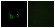 Immunofluorescence analysis of COS7 cells, using FFAR2 Antibody. The picture on the right is blocked with the synthesized peptide.