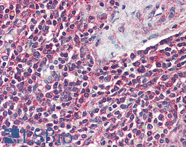 Anti-GPR43 antibody IHC of human spleen. Immunohistochemistry of formalin-fixed, paraffin-embedded tissue after heat-induced antigen retrieval.