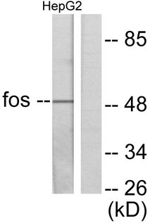 Western blot analysis of lysates from HepG2 cells, using Fos Antibody. The lane on the right is blocked with the synthesized peptide.