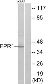 FPR1 / FPR Antibody - Western blot analysis of lysates from K562 cells, using FPR1 Antibody. The lane on the right is blocked with the synthesized peptide.